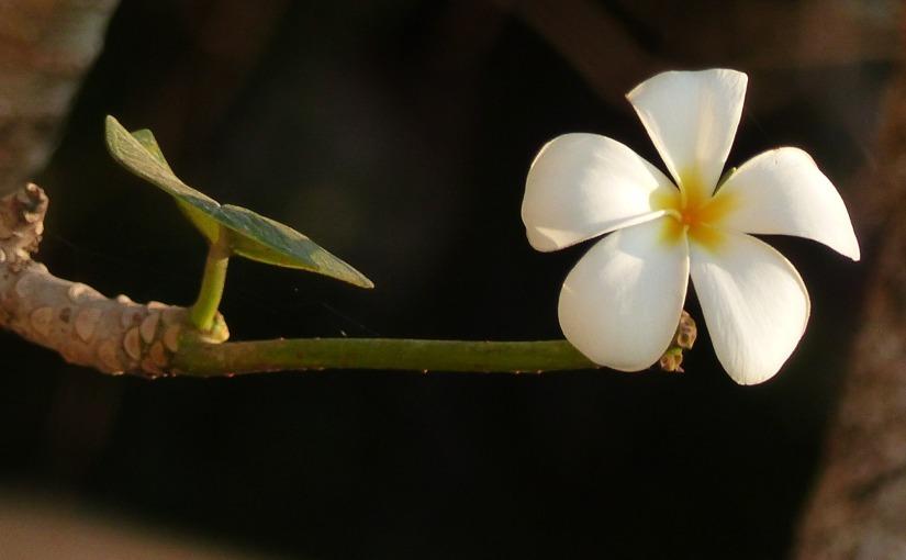 Plumeria / Frangipani – Wenn die Natur für dichlächelt